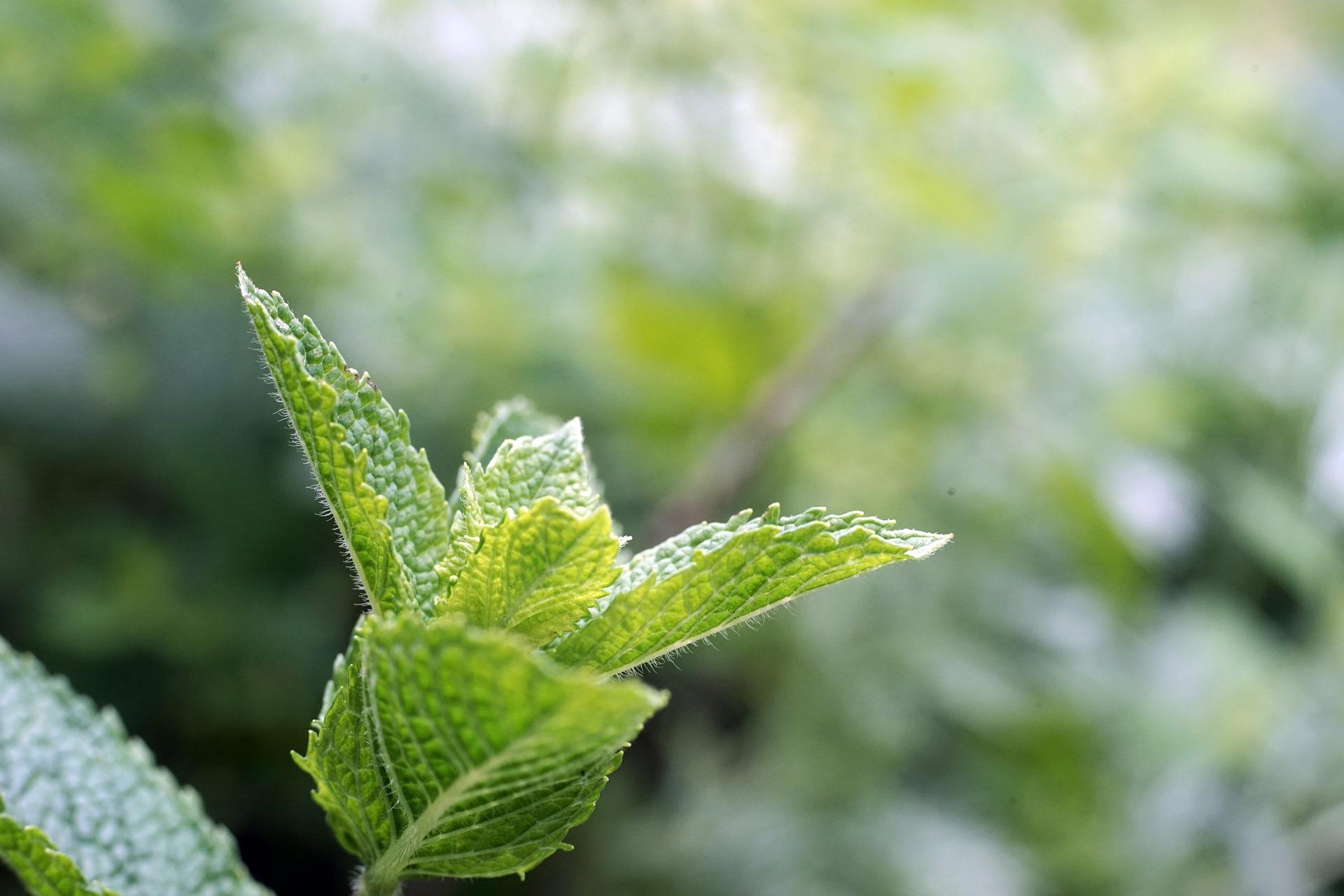 méditation sur Rolle axée sur la menthe et huile essentielle de menthe